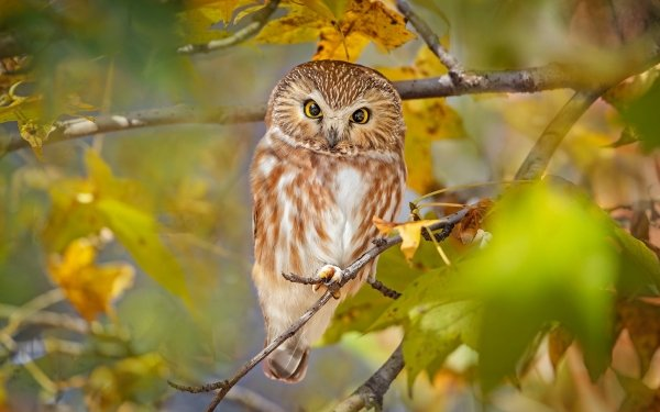 Animal Owl Birds Owls Bird Boreal Owl Wildlife HD Wallpaper | Background Image