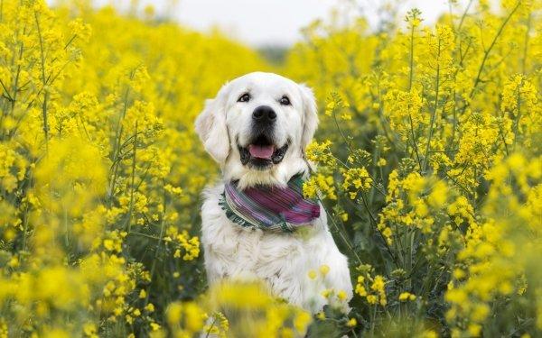 Animal Labrador Retriever Dogs Dog Pet Rapeseed Yellow Flower HD Wallpaper   Background Image