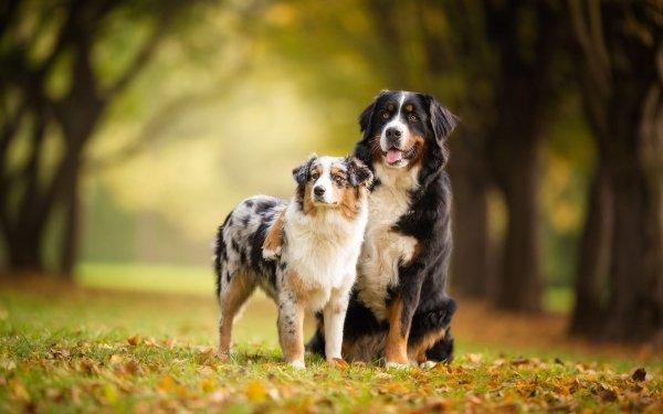 Animal Dog Dogs Bernese Mountain Dog Australian Shepherd Pet HD Wallpaper   Background Image