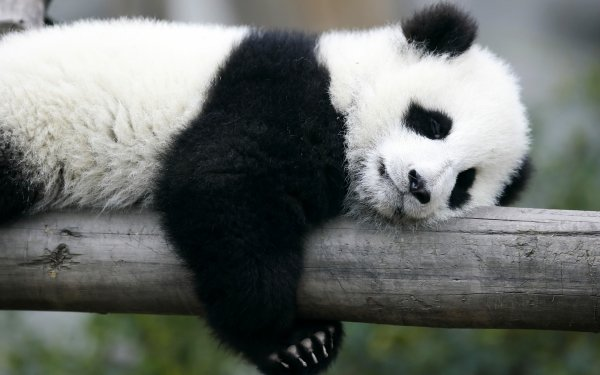 Animal Panda HD Wallpaper   Background Image