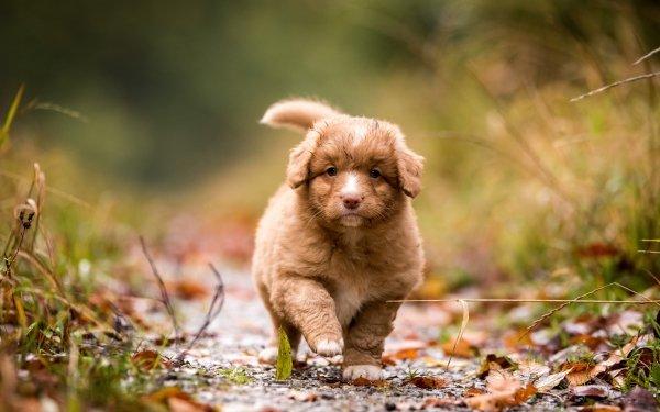 Animal Nova Scotia Duck Tolling Retriever Dogs Dog Puppy Baby Animal HD Wallpaper   Background Image