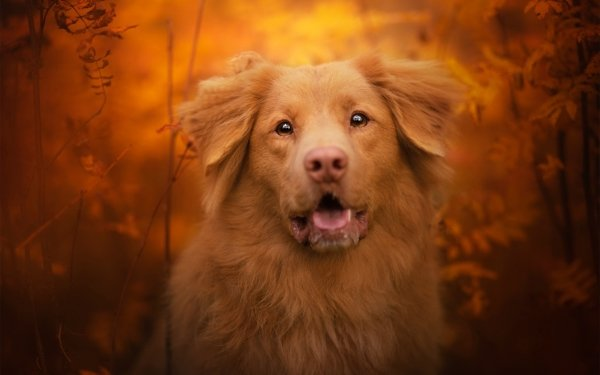 Animal Nova Scotia Duck Tolling Retriever Dogs Dog Pet HD Wallpaper   Background Image