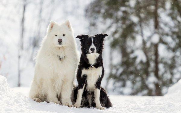 Animal Dog Dogs Samoyed Border Collie Snow HD Wallpaper   Background Image