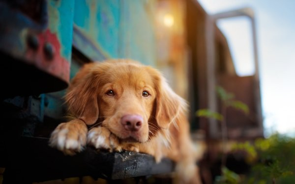 Animal Nova Scotia Duck Tolling Retriever Dogs Dog Pet Depth Of Field HD Wallpaper   Background Image