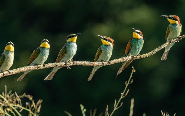 Animal Bee-eater Birds Bee-Eaters Bird Golden Bee-eater Wildlife HD Wallpaper | Background Image