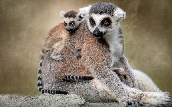 Animal Lemur Monkeys Primate Baby Animal HD Wallpaper | Background Image