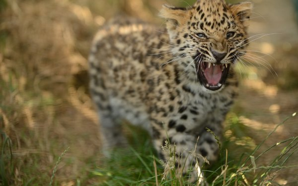 Animal Leopard Cats Cub Amur Leopard Wildlife HD Wallpaper | Background Image