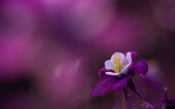 Earth Flower Flowers Macro Petal Purple Flower Aquilegia Blur HD Wallpaper | Background Image