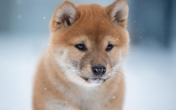 Animal Shiba Inu Dogs Dog Pet HD Wallpaper | Background Image