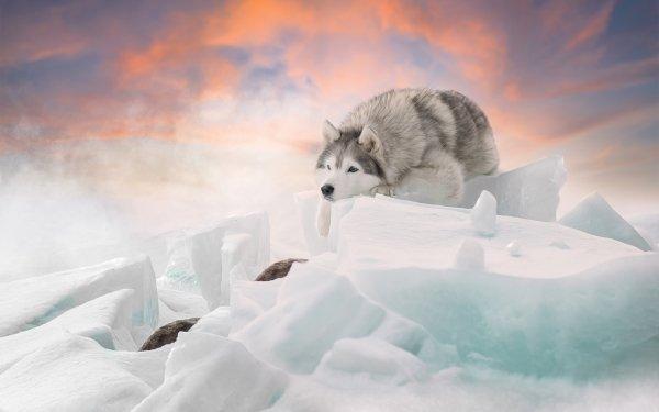 Animal Husky Dogs Winter Dog Ice Pet HD Wallpaper | Background Image