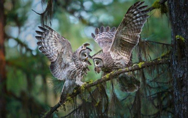 Animal Great grey owl Birds Owls Owl Bird Wildlife HD Wallpaper | Background Image