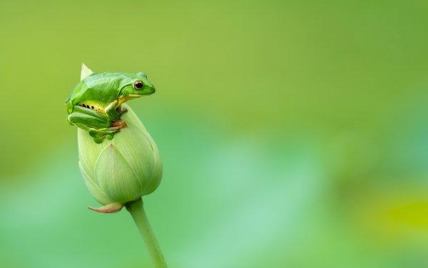 Animal Frog Frogs Amphibian Wildlife HD Wallpaper | Background Image