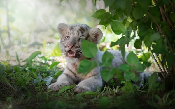 Animal White Tiger Cats Cub Baby Animal HD Wallpaper | Background Image