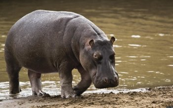 Animal - Hippo Wallpapers and Backgrounds ID : 287970