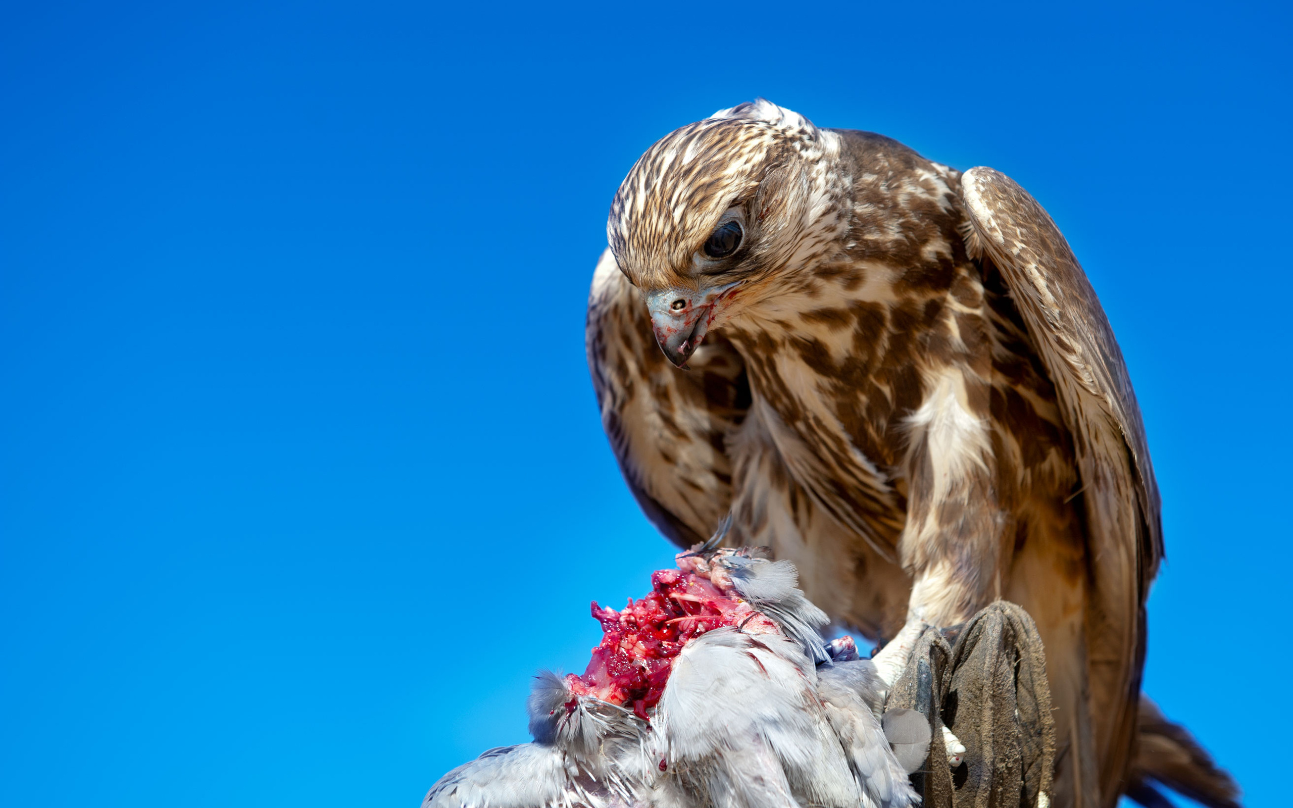 Hawk full hd wallpaper and background image 2560x1600 - Hawk iphone wallpaper ...