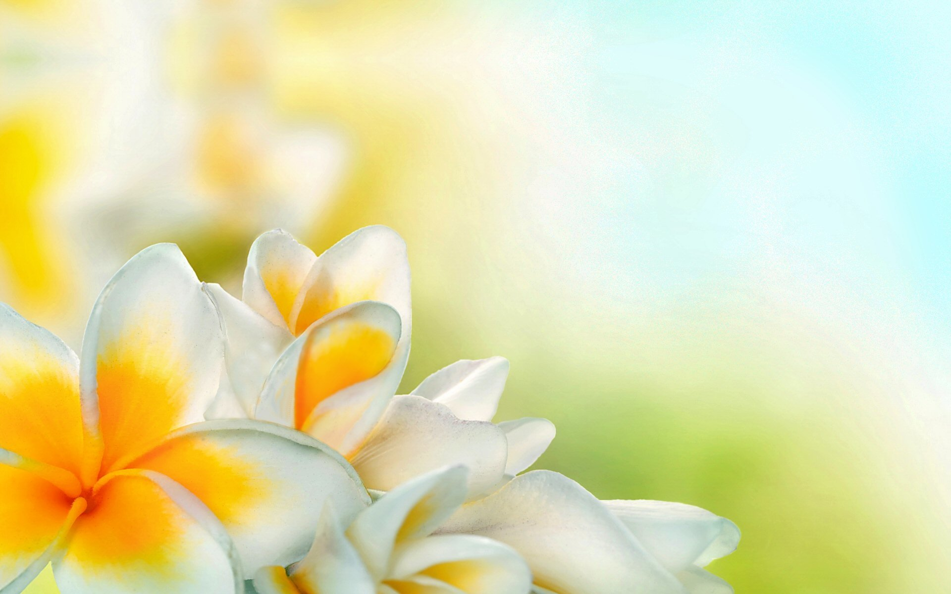 Earth - Frangipani  Petal White Flower Flower Spring Wallpaper