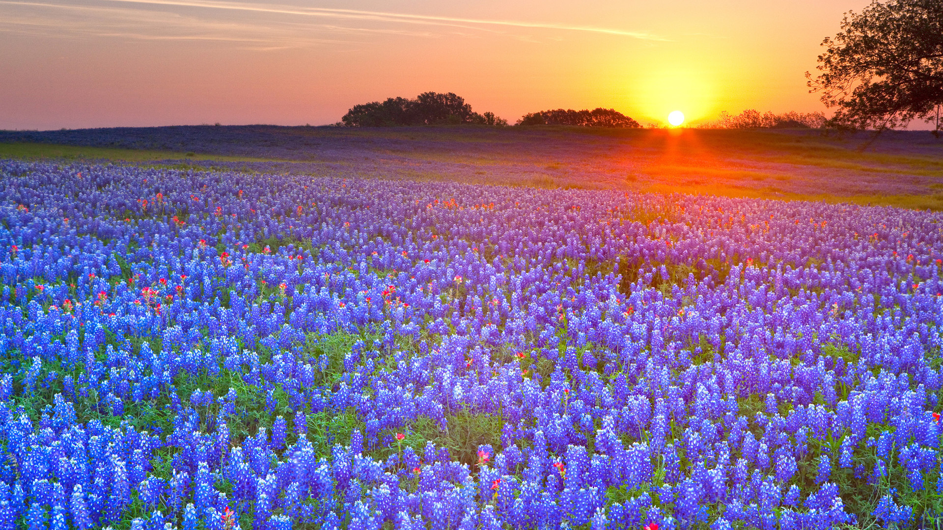 Texas Bluebonnets Hill Country Full HD Wallpaper And