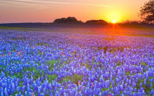 Earth Texas Bluebonnets Field Sunset Flower Texas Sunrise HD Wallpaper   Background Image