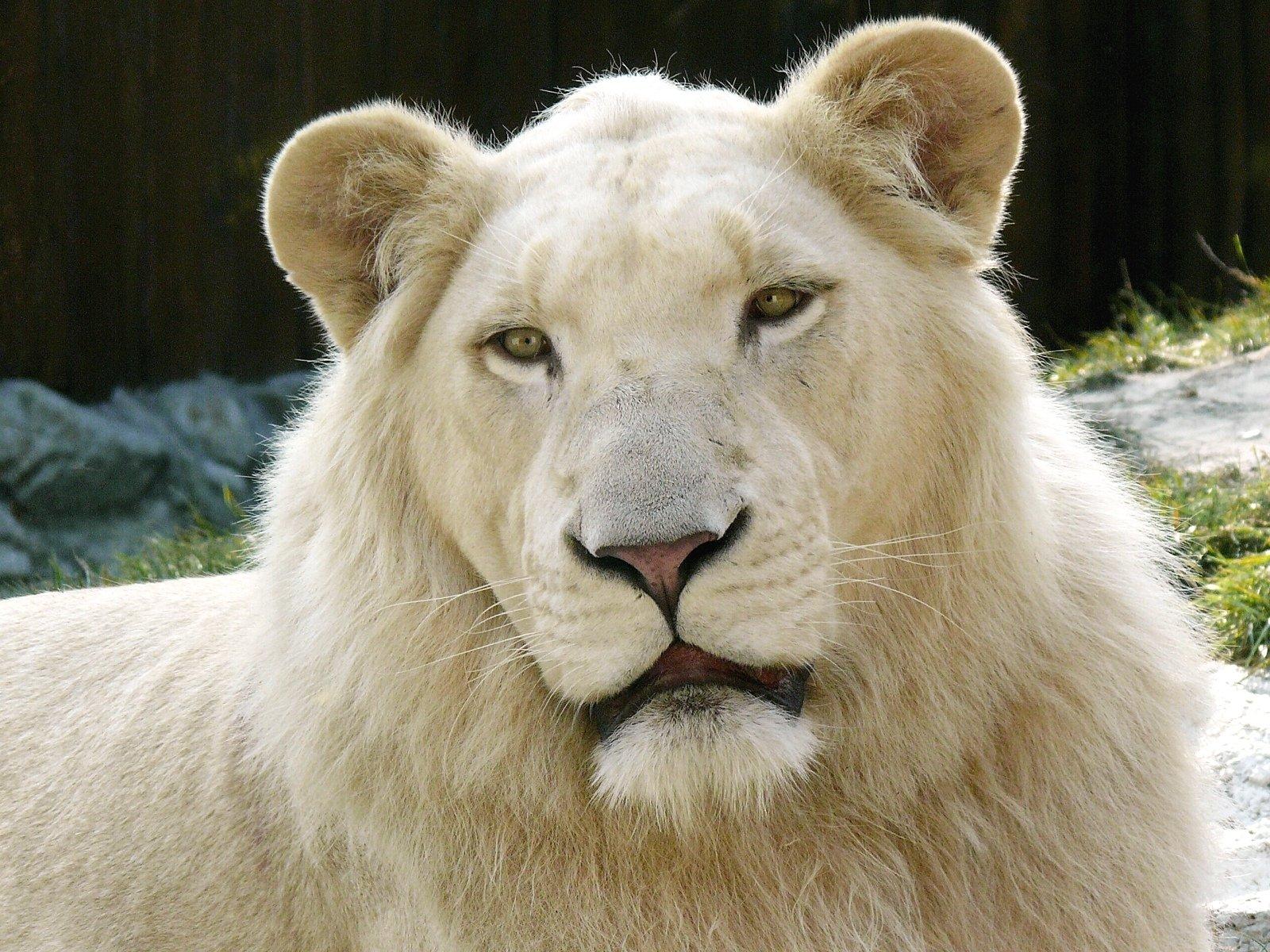 Animal - White Lion  Lion Cat Animal Wallpaper