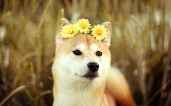 Animal Shiba Inu Dogs Flower Dog Pet HD Wallpaper   Background Image