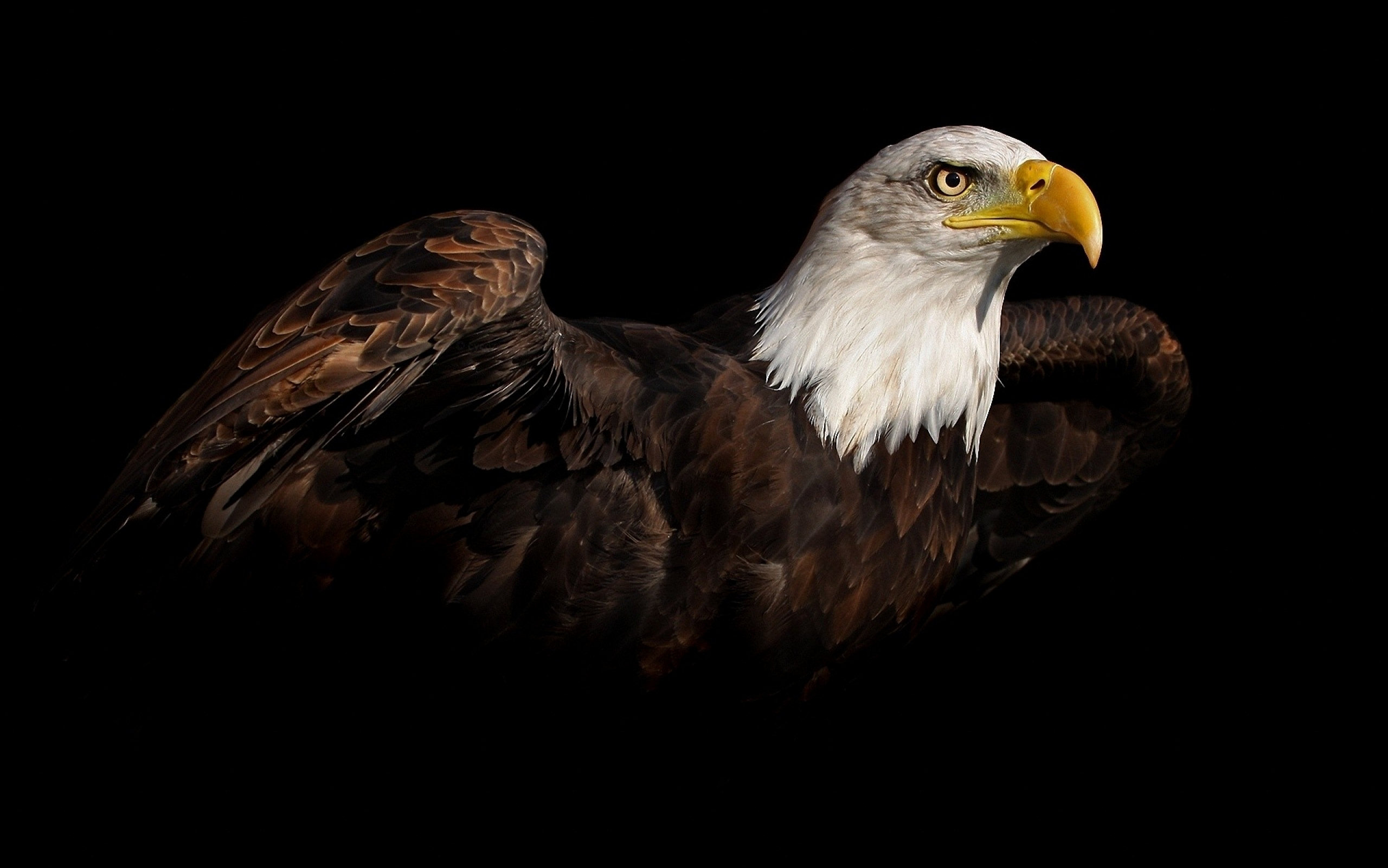 Bald Eagle Hd Wallpaper Background Image 2560x1600 Id