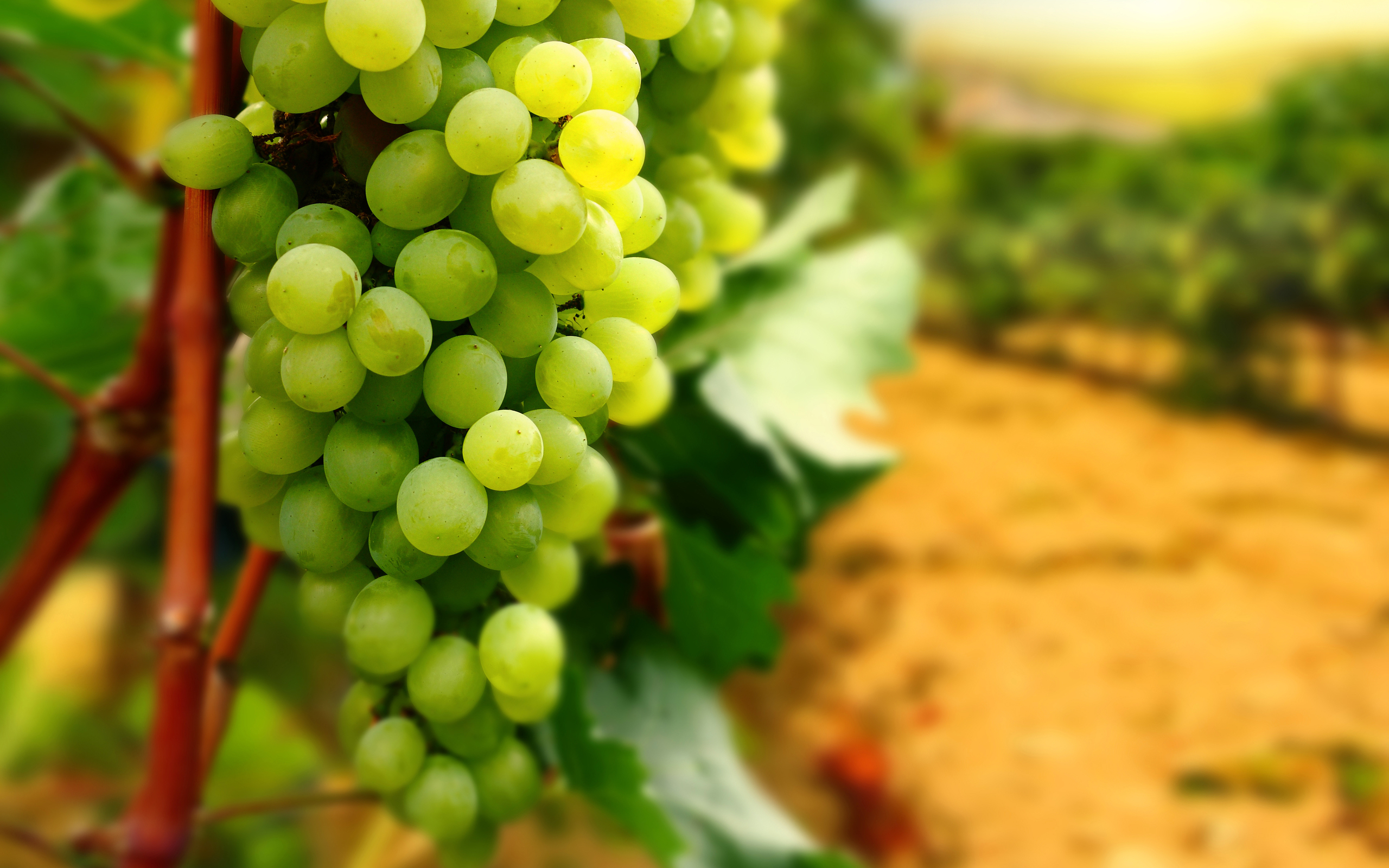 Colorful Food Wallpaper Free Download: Grapes Full HD Wallpaper And Background Image