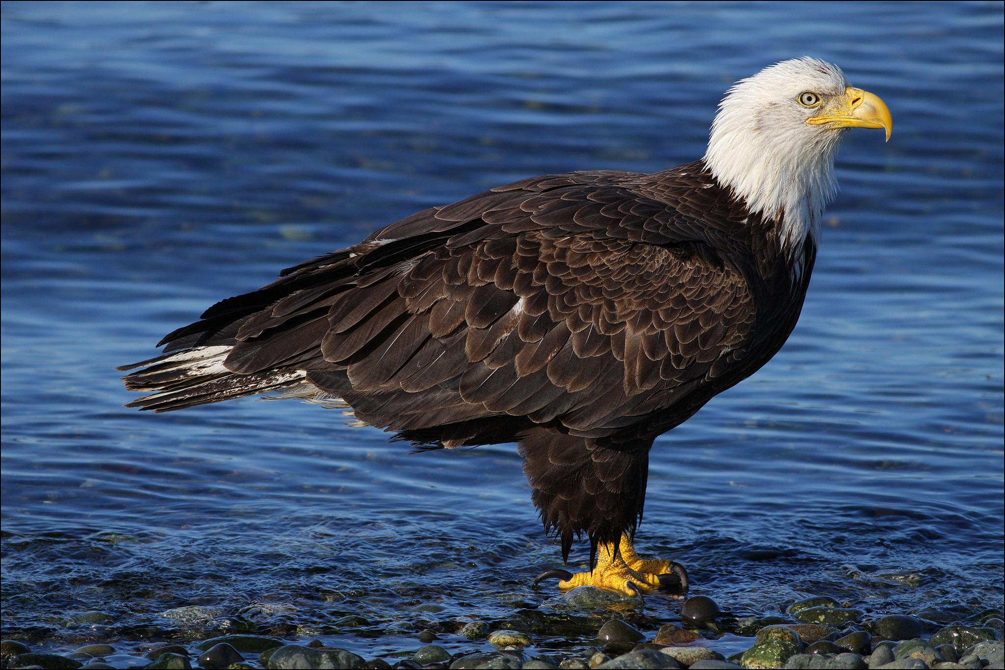 related bald eagle background - photo #28