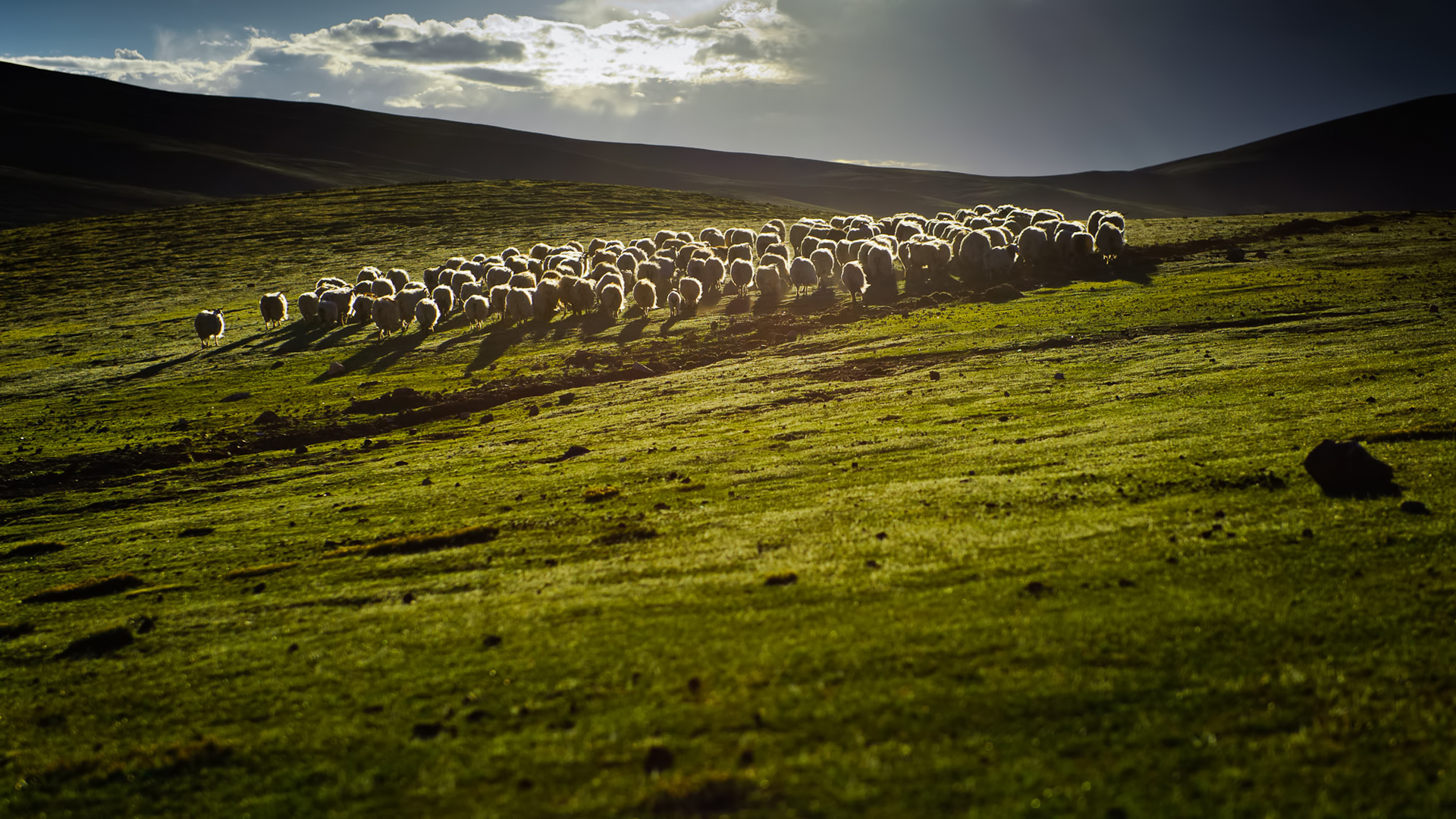 Sheep 9 Animals Minimalistic Wallpapers For Iphone: Sheep Full HD Wallpaper And Background Image