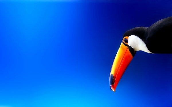 Animal Toco toucan Birds Toucans Toucan Colorful Bird Blue HD Wallpaper   Background Image
