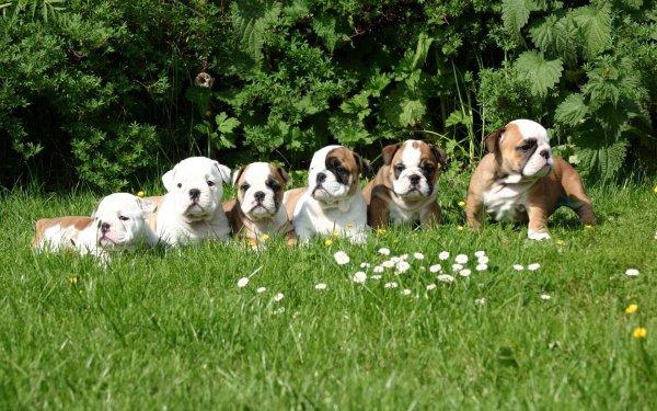 Animal Bulldog Dogs Puppy Cute HD Wallpaper   Background Image