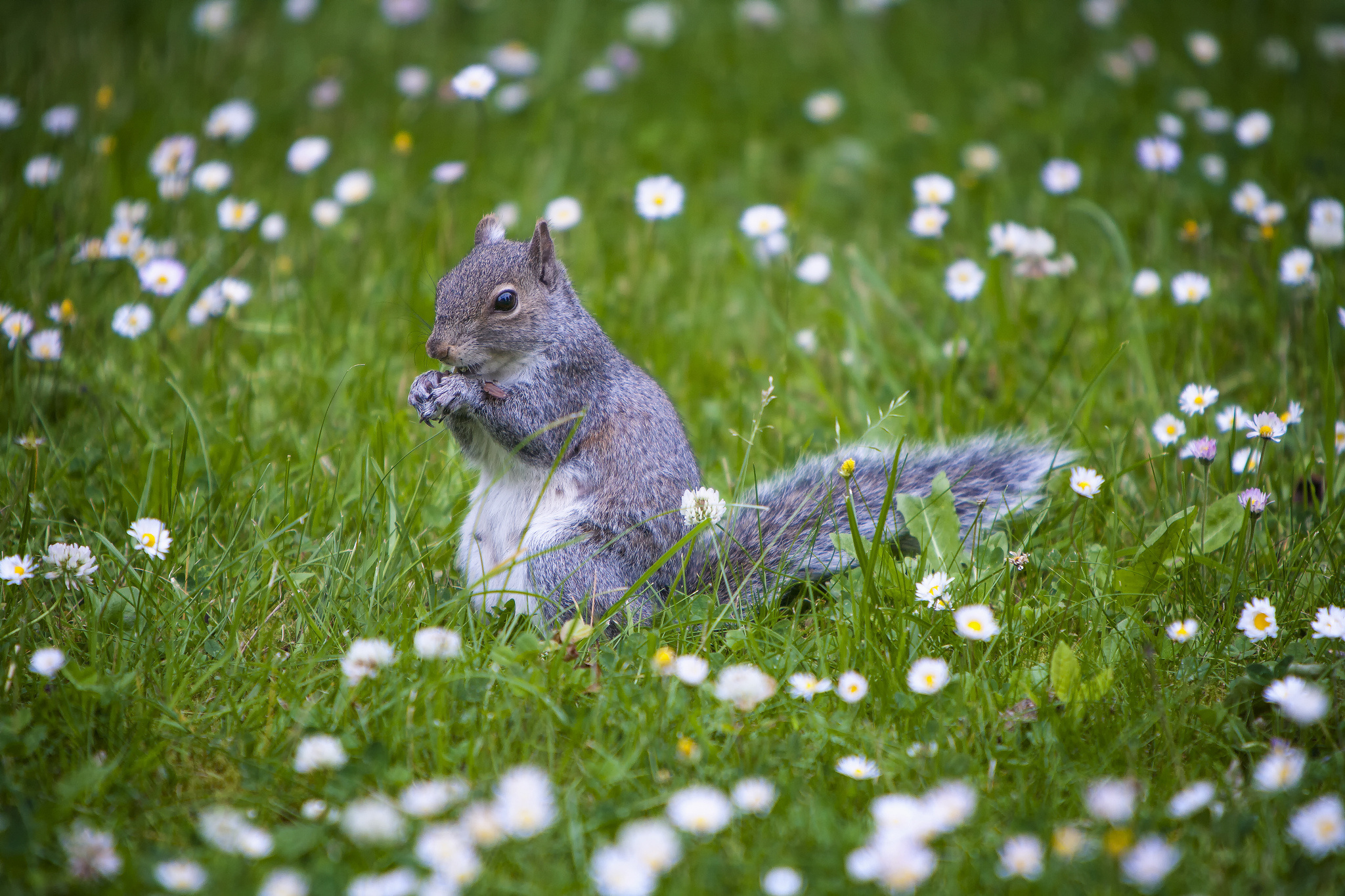 Squirrel Full HD Wallpaper and Background | 2048x1365 | ID ...