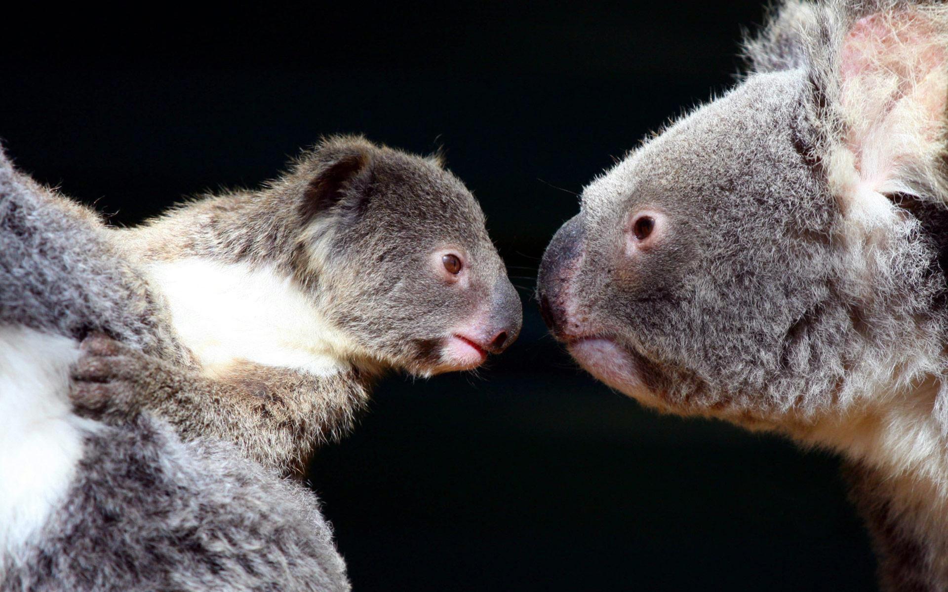 koala hd wallpaper background image 1920x1200 id