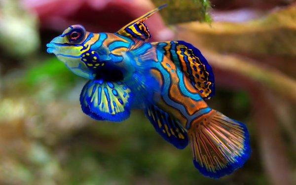 Animal Mandarinfish Fish Colorful HD Wallpaper | Background Image