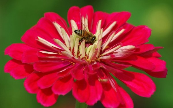 Animal Bee Insects Flower Pink Insect Close-Up Macro Pink Flower HD Wallpaper | Background Image
