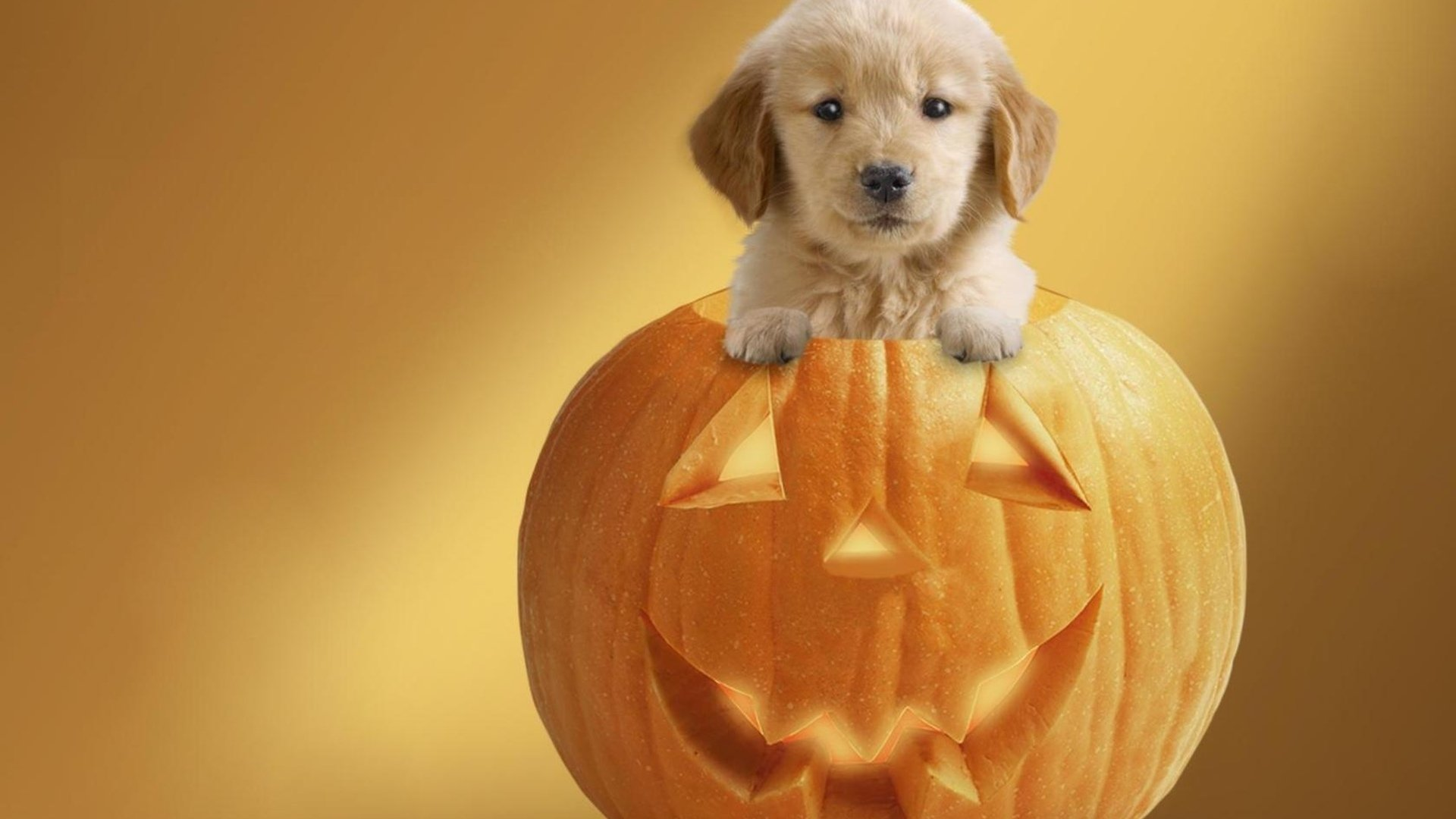 Holiday - Halloween  Puppy Cute Pumpkin Wallpaper