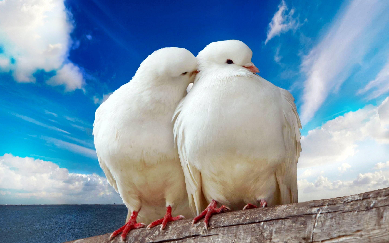 Wallpaper download all - Animal Bird Lovebird Pigeon White Dove Cute Wallpaper Download