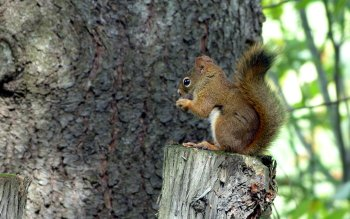 Dierenrijk - Squirrel Wallpapers and Backgrounds ID : 315291