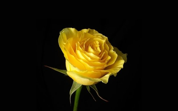 Earth Rose Flowers Yellow Flower Flower Yellow Rose HD Wallpaper   Background Image