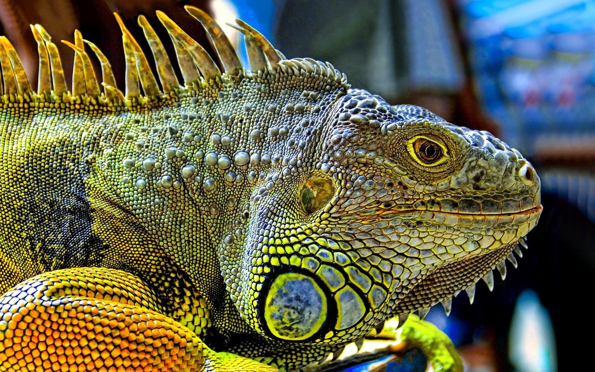 Animal - Iguana  Colorful Lizard Wallpaper