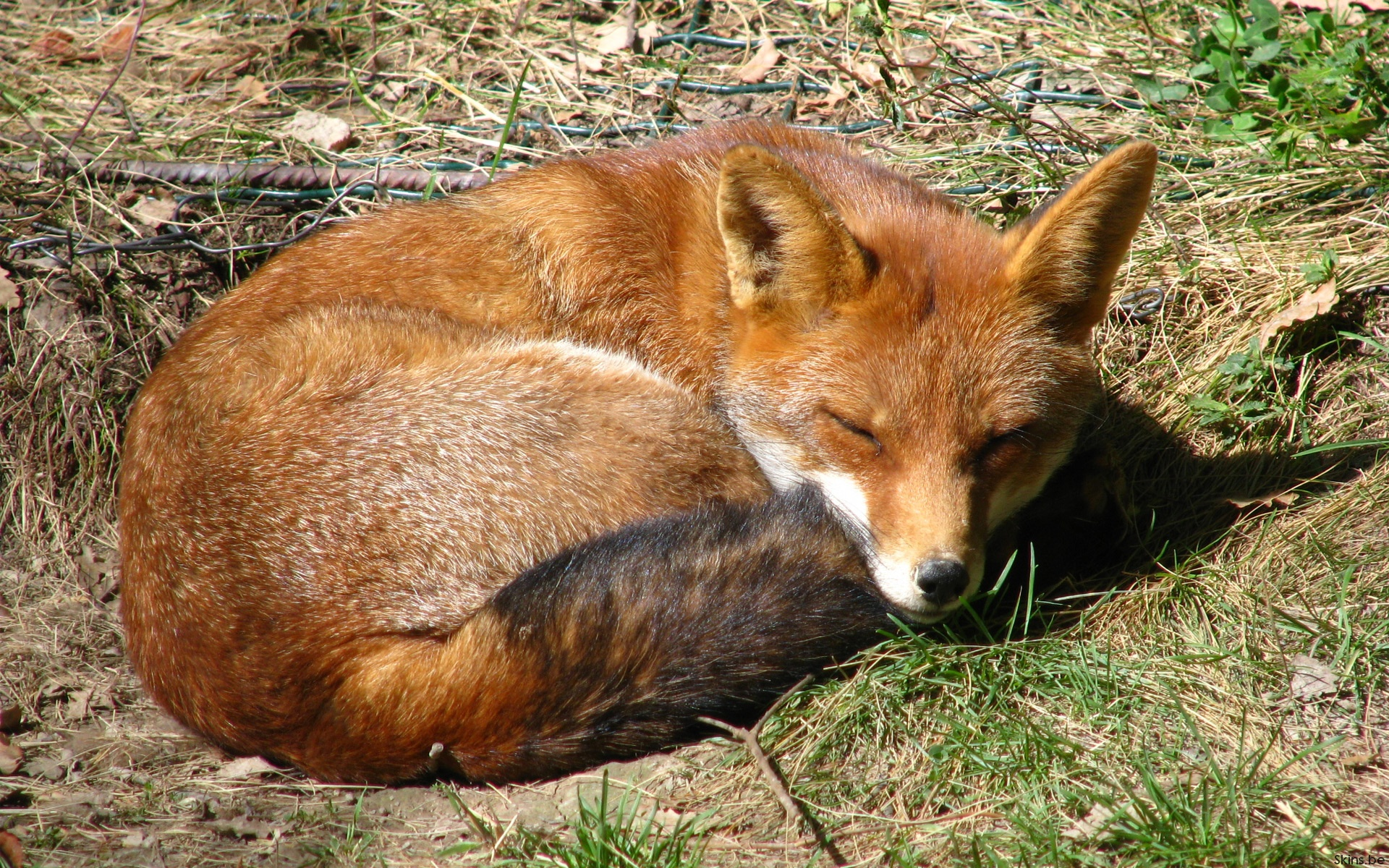 Fox Full HD Wallpaper and Background Image  1920x1200  ID:322883