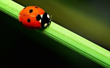 Animal - Ladybug Wallpapers and Backgrounds ID : 322578