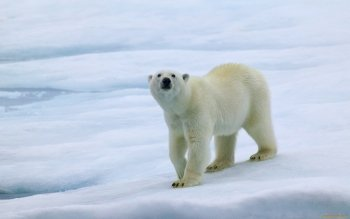 Animal - Polar Bear Wallpapers and Backgrounds ID : 322856