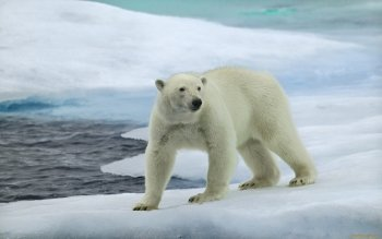 Animal - Polar Bear Wallpapers and Backgrounds ID : 322858