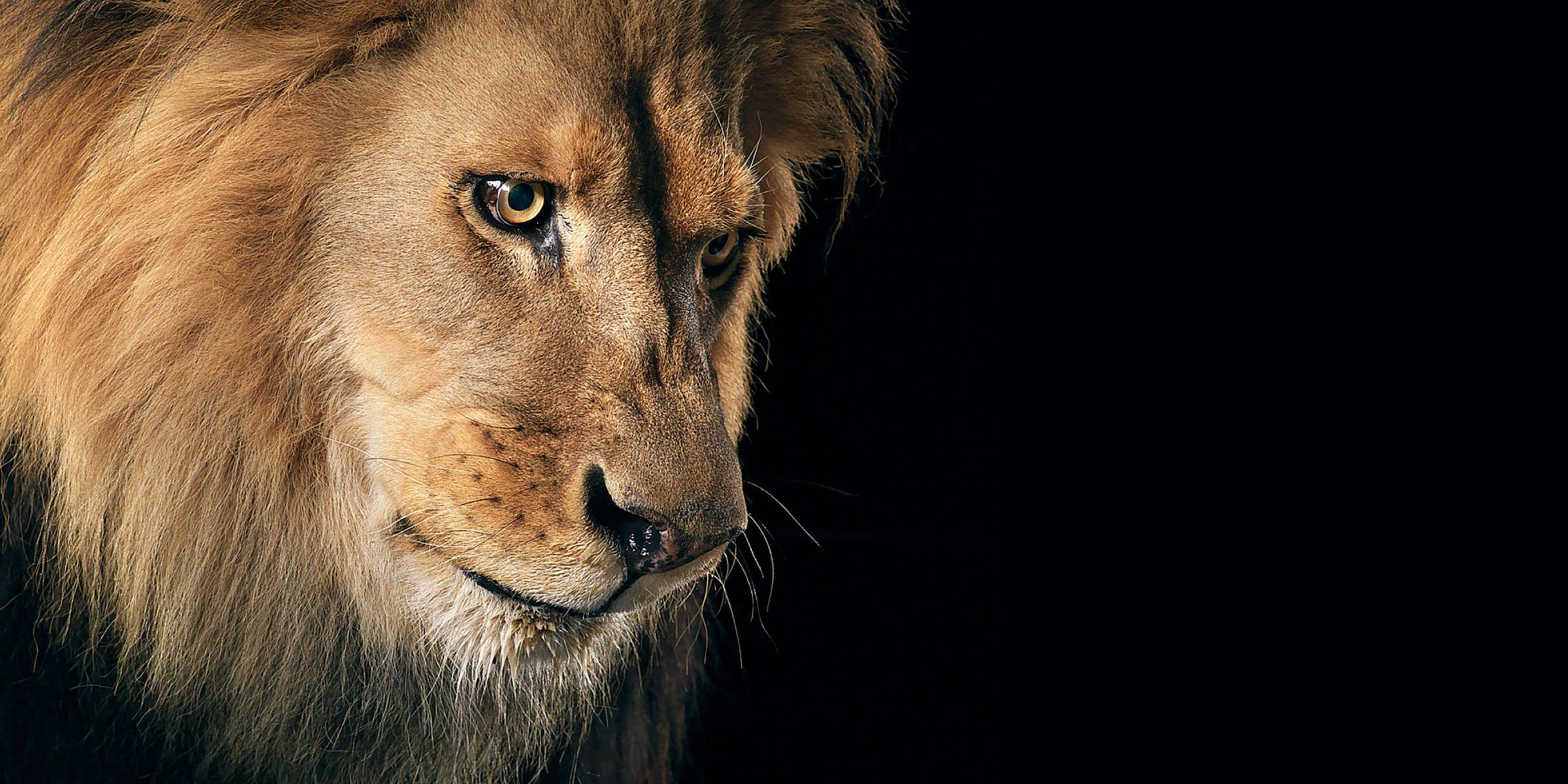 800 Lion HD Wallpapers...
