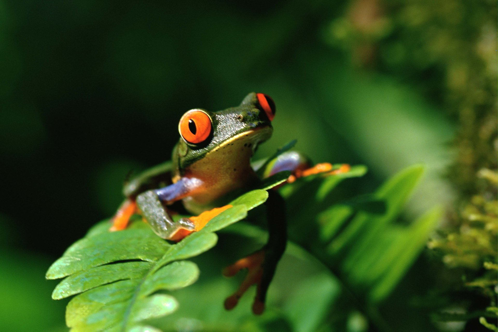 Animal - Red Eyed Tree Frog  Frog Wallpaper