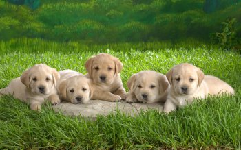 Animal - Dog Wallpapers and Backgrounds ID : 323376