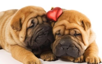 Animalia - Shar Pei Wallpapers and Backgrounds ID : 323453