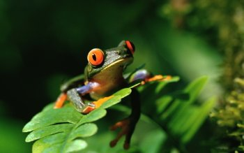 Animal - Frog Wallpapers and Backgrounds ID : 323716