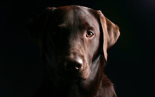 Animal Labrador Retriever Dogs Dog HD Wallpaper | Background Image