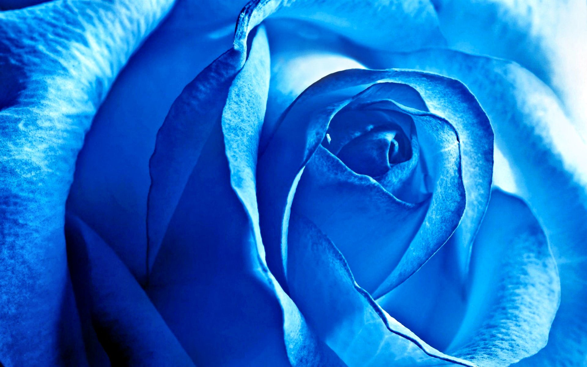 Earth - Rose  Flower Blue Nature Wallpaper